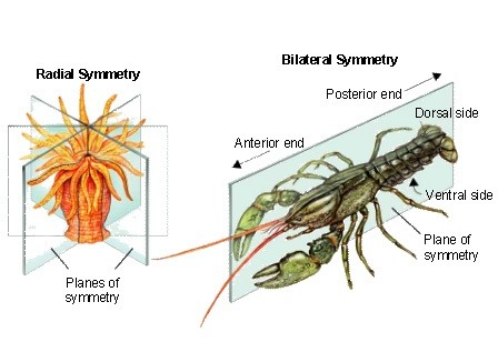 What is radial symmetry and geometric symmetry what is the radial symmetry as well as bilateral synmetry are often addressed in the context of organismal biology the symmetry mode ie radial vs bilateral is ccuart Images