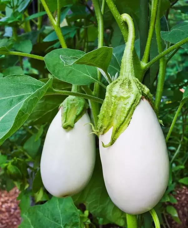 why is eggplant called eggplant quora