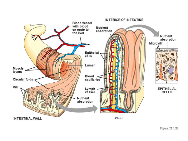 Are epithelium cells in the villi of the small intestine the same microvilli should not be confused with intestinal villi which are made of many cells each of these cells has many microvilli ccuart Gallery