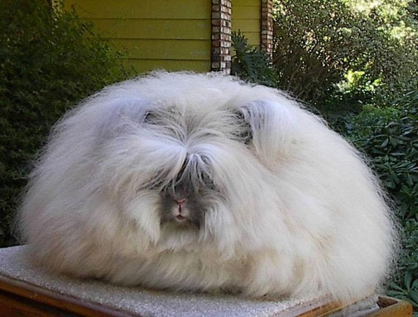 An almost featureless squashed sphere of oyster coloured fur that occupies the entire top of a bedside locker, which on closer inspection, turns out to be an Angora rabbit just prior to moulting.