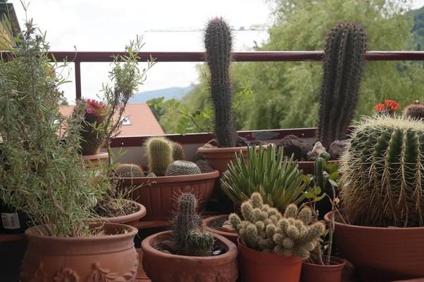 how often should i water my cacti quora. Black Bedroom Furniture Sets. Home Design Ideas