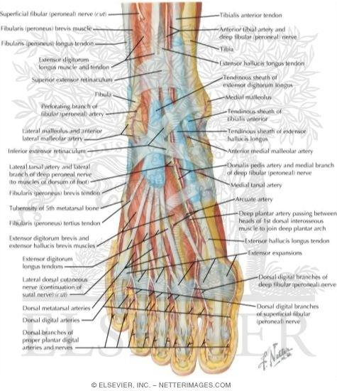 Do feet have muscles? - Quora