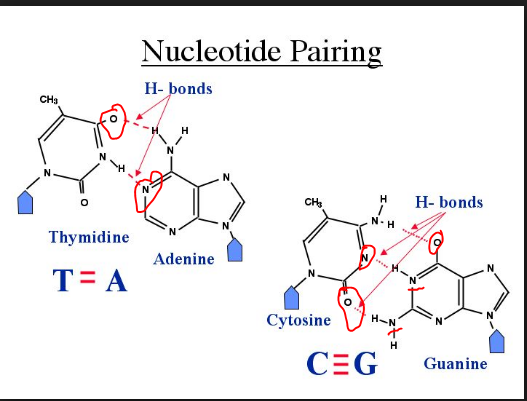 Why are there two hydrogen bonds between adenine and thymine but positive charge to form bond along with the electronegative atom of another nucleotide now i have marked the electronegative atoms with red circles ccuart Images