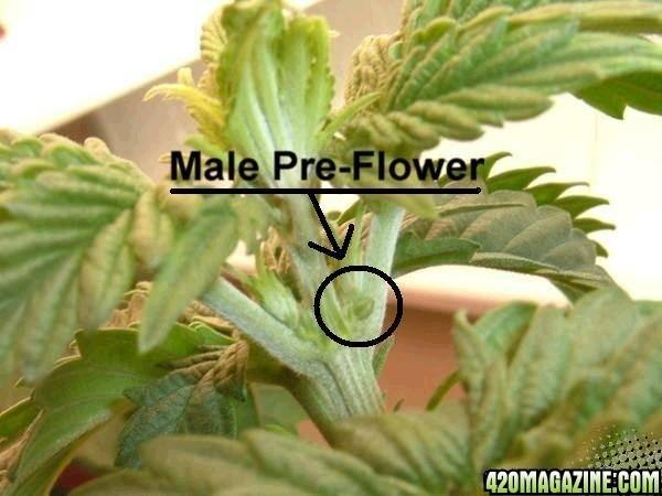A plant How marijuana to sex