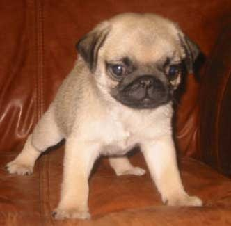 What Is The Average Price Of A Pug Puppy And From Where Can I Get