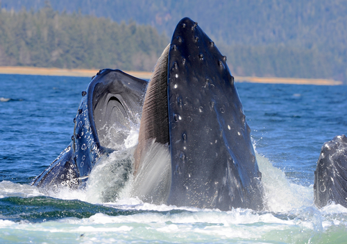 How much krill do blue whales eat quora for The fish that ate the whale