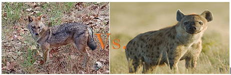 Who would win, a hyena or a jackal? - Quora