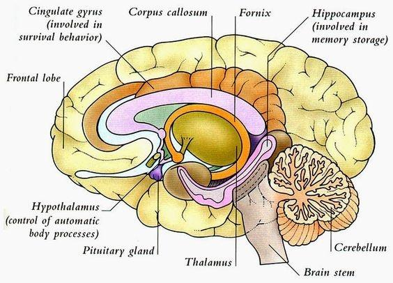 What are the 3 parts of the brain quora here is a table which will help you remember the part names of the human brain ccuart Gallery