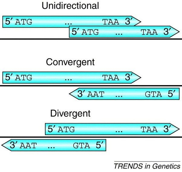 How Is It Possible That Both Dna Strand Can Be Transcripted To Make
