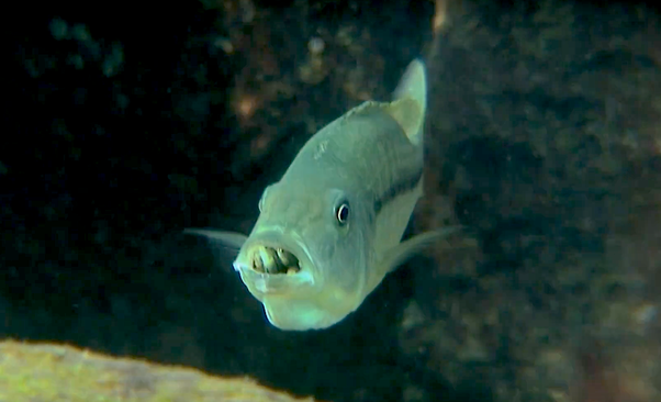 Which fish keeps its eggs in its mouth? - Quora