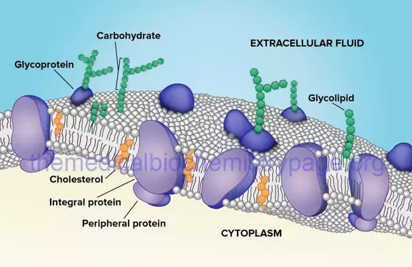 Why does soap break down cell membranes quora in addition to lipids there are proteins carbohydrates and combinations of the three within the bilayer but the barrier that separates the cell from its ccuart Images