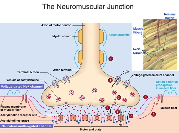 What will occur if a drug at the neuromuscular junction ...