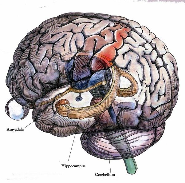 If the hippocampus were injured and neurogenesis did happen how a diagram showing a rat hippocampus ccuart Gallery
