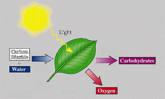 What are the exact events that occur during photosynthesis quora carbon dioxide water light glucose oxygen ccuart Image collections