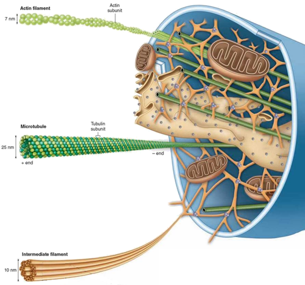 What does the cytoskeleton look like in an animal cell quora cell cytoskeleton image lifted from schoolbagfo page the living world ccuart Choice Image