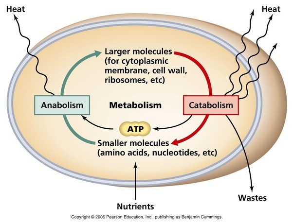 How Is Cellular Respiration Related To Metabolism Quora