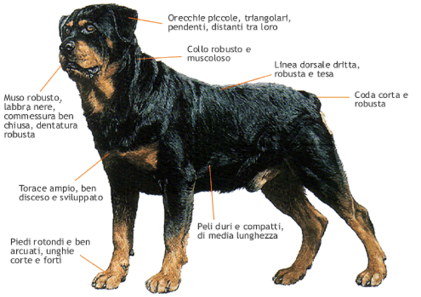 Perché I Rottweiler Dobermann Pinscher Sopra Gli Occhi Hanno I
