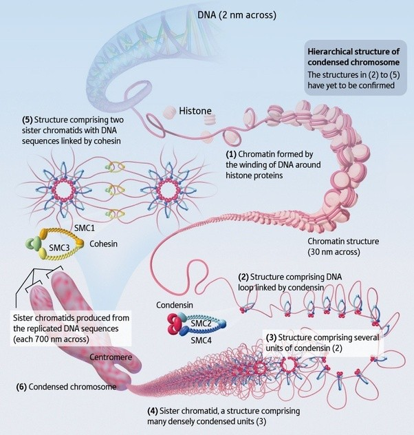 What is chromatin cond...