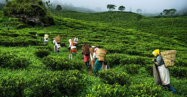 Who is largest tea importer country for Assam tea from India? - Quora