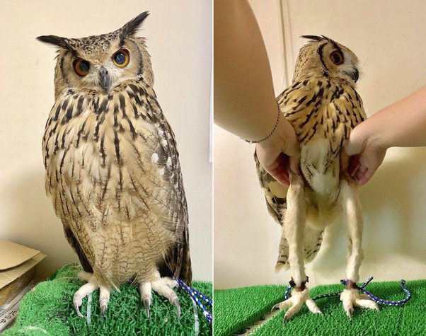 Is It True That Owls Have A Pair Of Slender Legs Under Their Fluff Quora