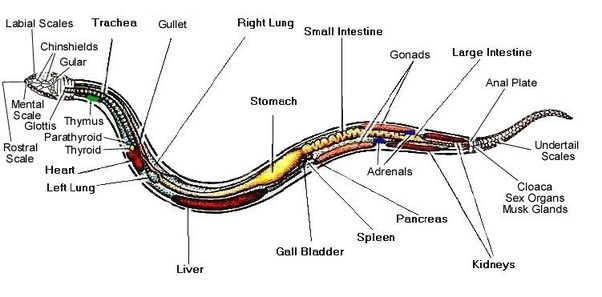 Corn Snake External Anatomy Diagram - Circuit Diagram Symbols •