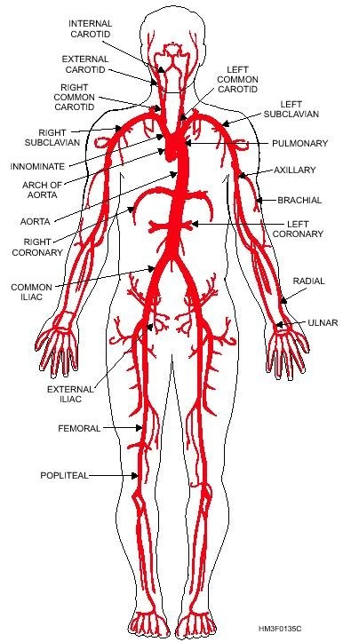 What are the major arteries of the human body? - Quora