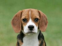 Price Of A Beagle In Kolkata