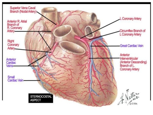 How much heart damage would a 2 day old heart attack be to an 82 heart muscle and because of this enormous loss of viable heart muscle will lead to death in 80 if the patients see widowmaker heart attack explained ccuart Image collections