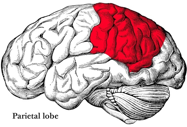 What Are The Consequences Of Removing Each Major Brain Area Quora