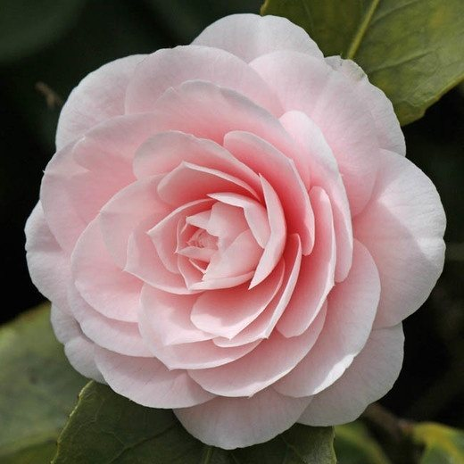Is there a flower that looks like a rose or can be easily mistaken and camellias another spring flower on bush more of a bush than peonies and the leaves are more like rose leaves mightylinksfo