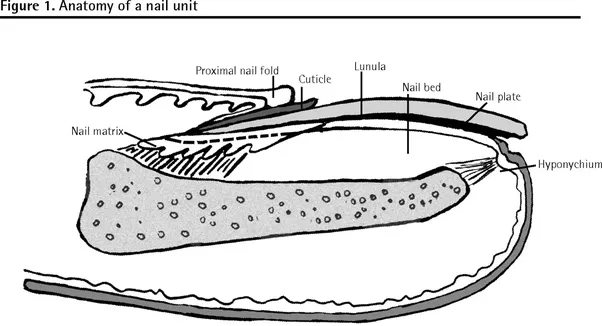What causes nail growth? - Quora
