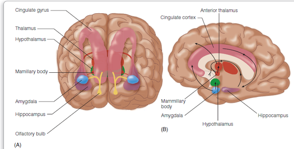 What is the limbic system in the brain quora ccuart Image collections