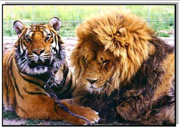 Can a lion beat a tiger? - Quora