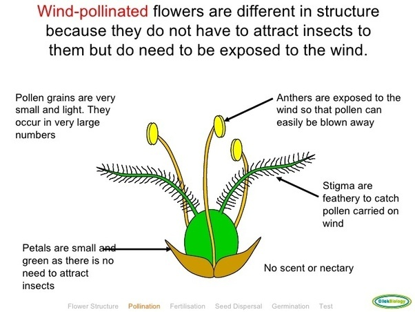 What are the features of wind pollinated flowers quora plants are generally unisexual ccuart Images