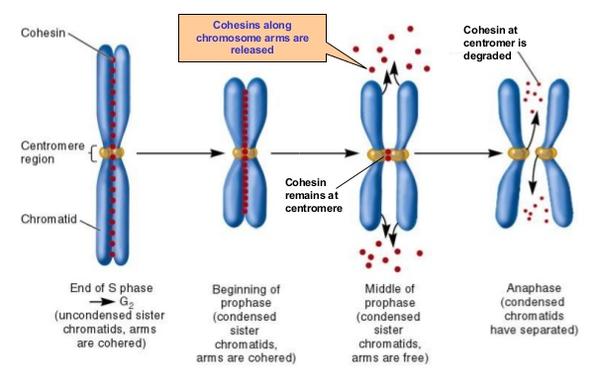 Chromatid Diagram Regions Enthusiast Wiring Diagrams