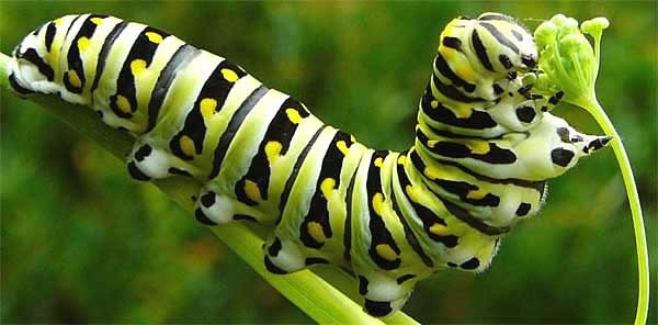 Insects  How Many Legs Does A Caterpillar Have