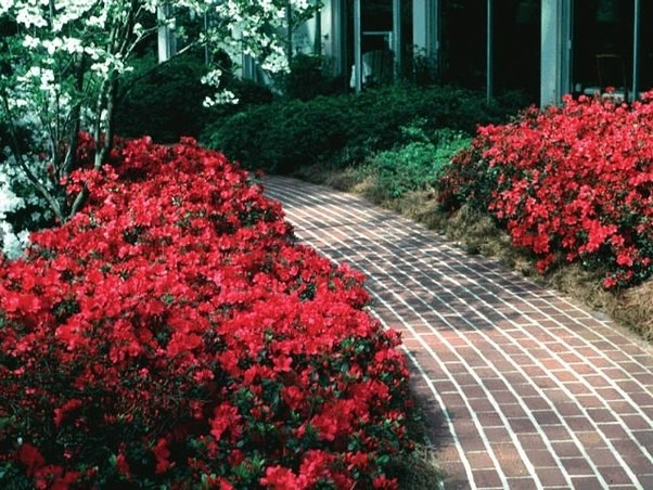 Horticulture what shrub has green leaves that turn into red flowers bougainvillea some might argue it is not a shrub mightylinksfo