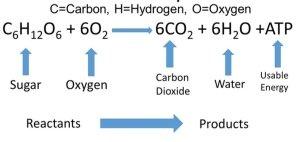 respiration cellular reactants equation chemical balanced general mechanism