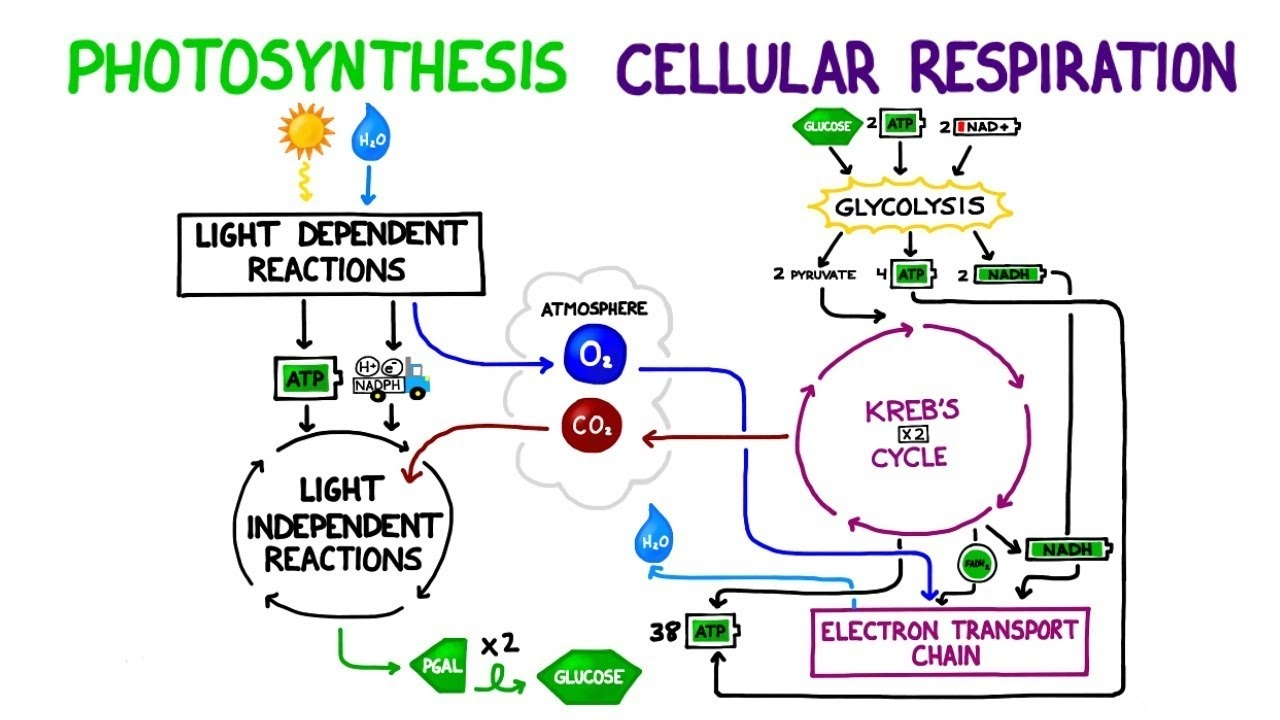 The Relationship Between Photosynthesis