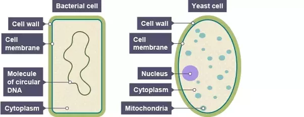 What are the differences between fungi and bacteria quora bacterial cell is a kind of primitive cell comes under category of prokaryotic cell while fungal cell is advanced eukaryotic cells ccuart Gallery