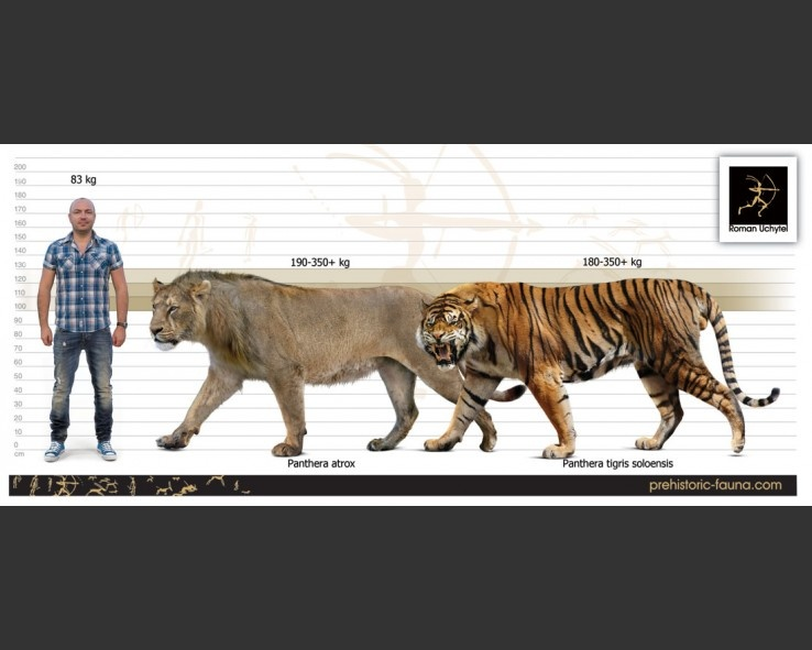 Who would win in a fight, an American Lion or a Ngandong Tiger? - Quora