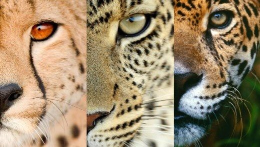 how to visually differentiate between a cheetah a jaguar and a