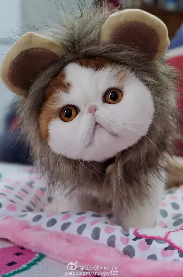 How Much Do Exotic Short Hair Cats Cost?
