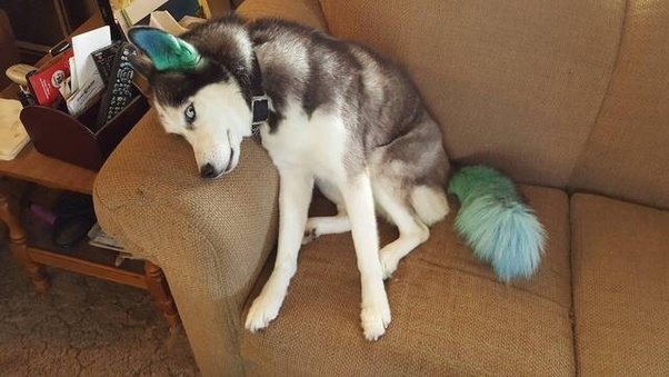Have you ever used hair dye on your pet? - Quora