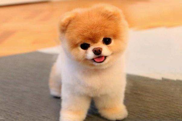 Cute Small Fluffy Dog Breeds Goldenacresdogs Com