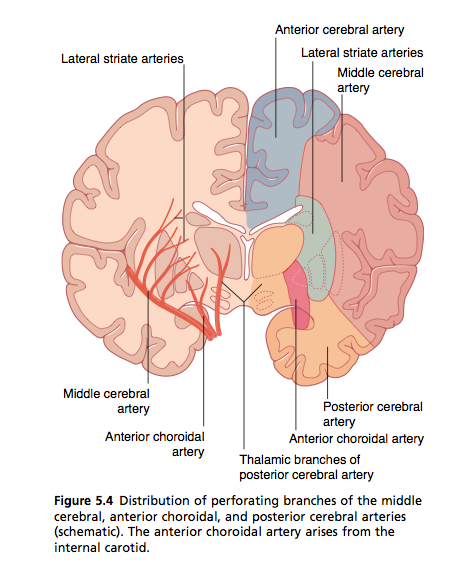What is the main artery that feeds the hippocampus quora what is the main artery that feeds the hippocampus ccuart Gallery