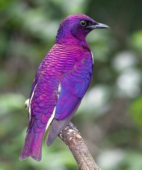 Is there a purple bird? - Quora