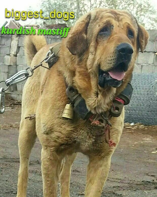 Which dog breeds can beat a Turkish Kangal? - Quora