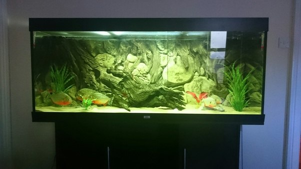 What is it like to have a piranha fish as a pet quora for Piranha fish tank