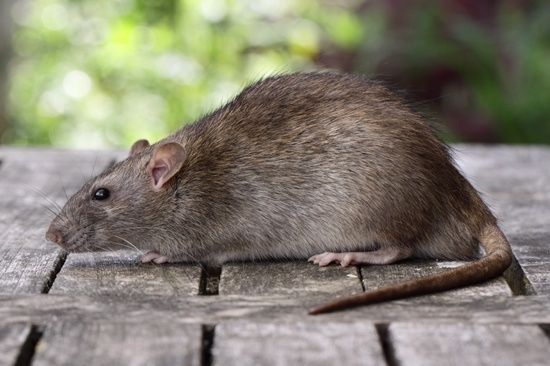 Why Do Rats Die Outside Houses After Eating Rat Poison Quora